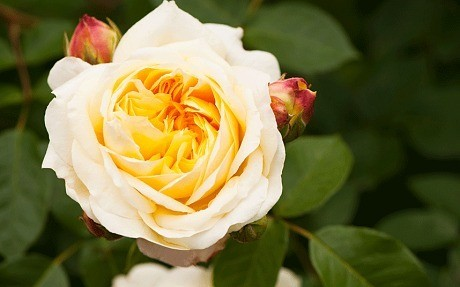 How to grow – and get the best – from roses