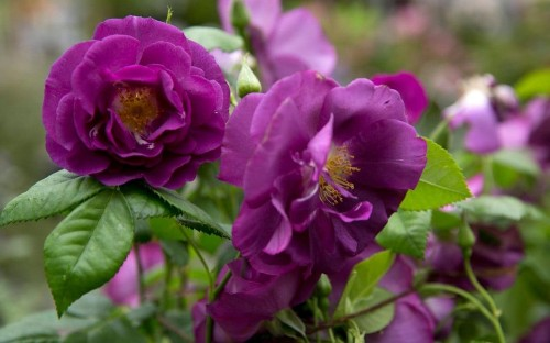Purple reign: 10 plants to bring shades of ultra violet into your garden