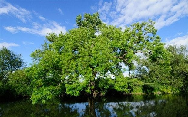 Ash trees could be genetically modified to resist dieback disease