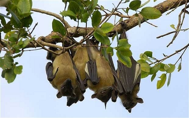 Secrets behind the upside-down flight landings of bats revealed