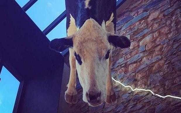 Stuffed cow hanging from restaurant ceiling causes online backlash