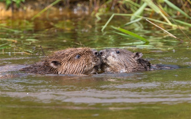 Beavers can stay in Devon, rules Natural England
