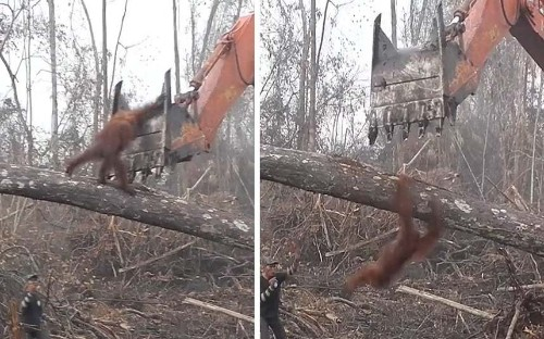 Animal rescue workers capture moment orangutan tries to defend its home from loggers
