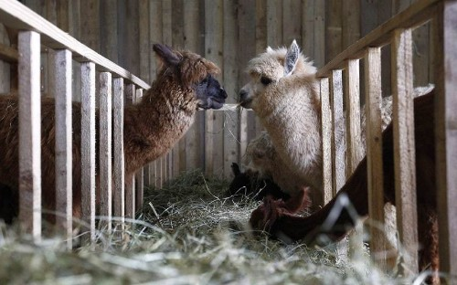 Alpaca shearing day in Germany - Telegraph