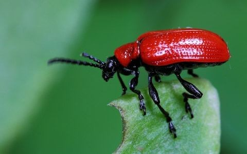 How to get rid of lily beetles, by garden expert Helen Yemm