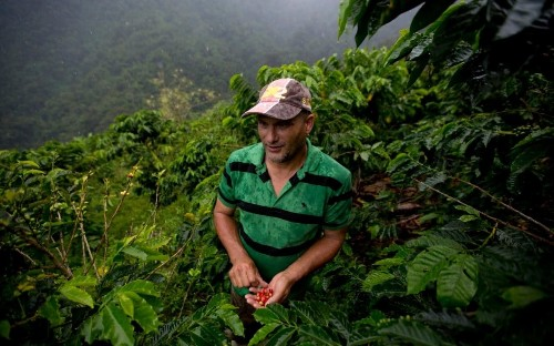 Future of coffee in doubt as 60 per cent of plants now at risk of extinction