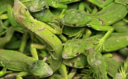 Plague of green iguanas wreaks havoc in Florida