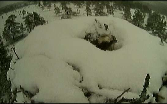 Female osprey refuses to leave snow covered nest