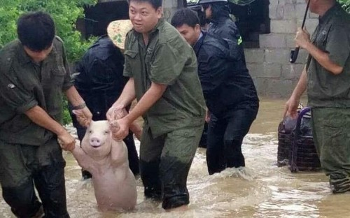 Smiling pig rescued from China floodwater sparks hilarious memes