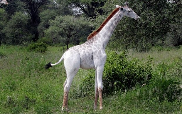 Rare white giraffe spotted in Tanzania could be 'target' for poachers