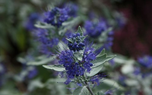 Top 10 new shrubs to look out for - Telegraph