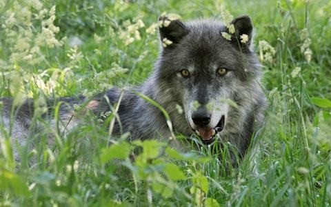 France has wolves in its sights as hunters demand Brussels' blessing to shoot more
