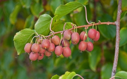 Grow to eat: kiwi vines love our climate and grow like apples