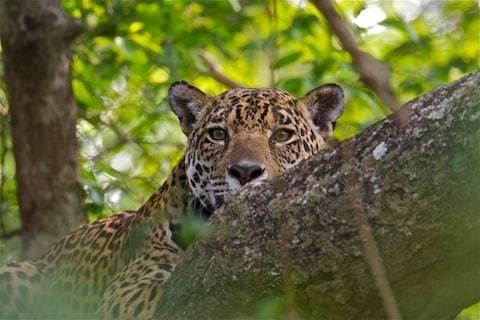 A safe space for jaguars in Brazil's awe-inspiring Pantanal