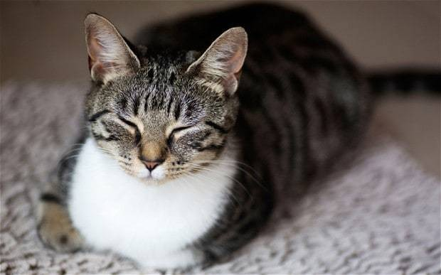 Why your purring cat might not be as happy as it sounds