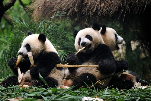 13 things you didn't know about pandas