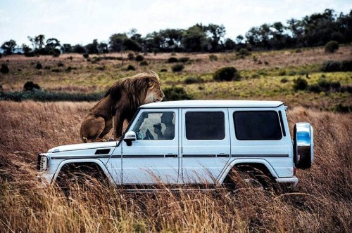 Big cats pose with 'lion whisperer' for photoshoot in South Africa - Telegraph