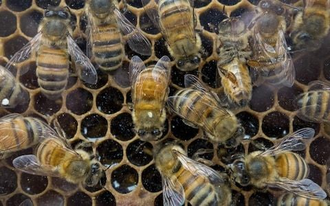 Urban beekeeping is harming wild bees, says Cambridge University