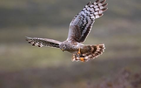RSPB accused of 'blatant' attempt to damage grouse shooting in Scotland ahead of crucial review