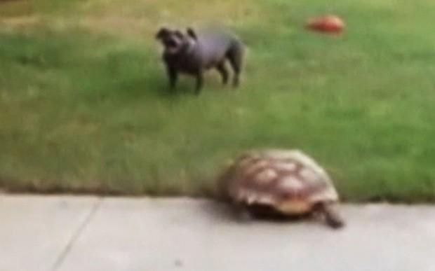 Tortoise chasing dog is viral sensation