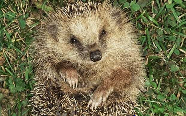 Hedgehog sightings continue to fall - but four in ten people see foxes in their gardens once a month, survey shows