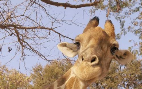 Sir David Attenborough: giraffes are facing 'silent extinction'