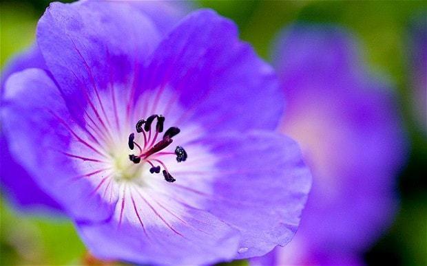 Chelsea Flower Show 2013: Geranium found at bottom of garden named Plant of the Centenary
