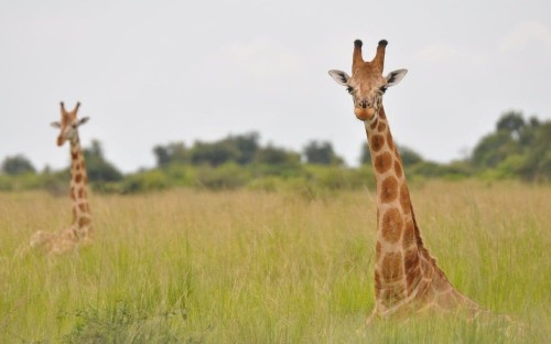 The giraffe is not one species but four, scientists discover