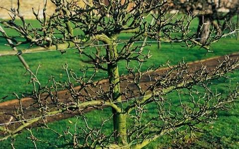 Quick tips for pruning winter fruit trees