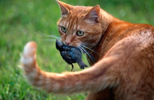 Would you buy a genetically engineered cat that was guaranteed not to hunt?