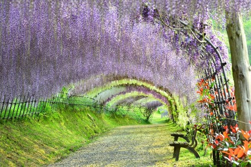 Cherry blossom is so last year – now Japan is going crazy for wisteria tunnels