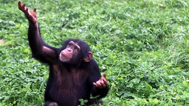 Mysterious chimpanzee behaviour could prove they believe in God, according to scientists
