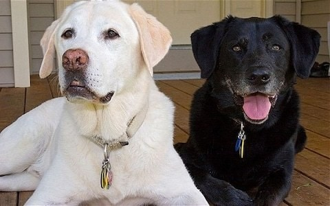 Stress makes dogs go grey as well as humans - new study