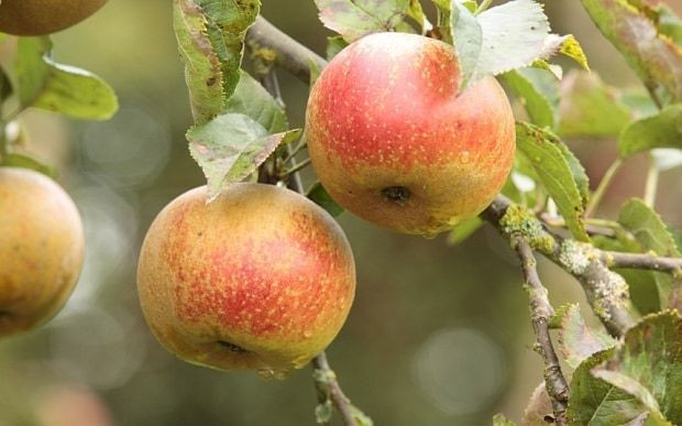 How to grow apple trees: everything you need to know
