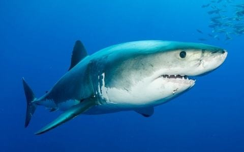 Deadly great white sharks and oceanic white-tips to arrive in British waters by 2050