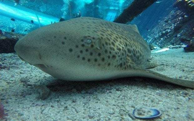 Female leopard shark makes world-first switch from sexual reproduction to impregnate herself