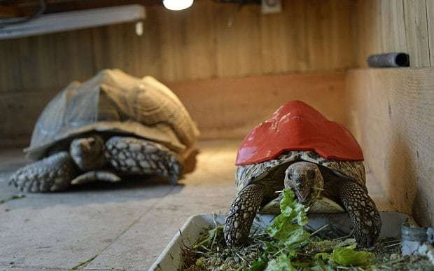 Injured tortoise given 3D printed shell