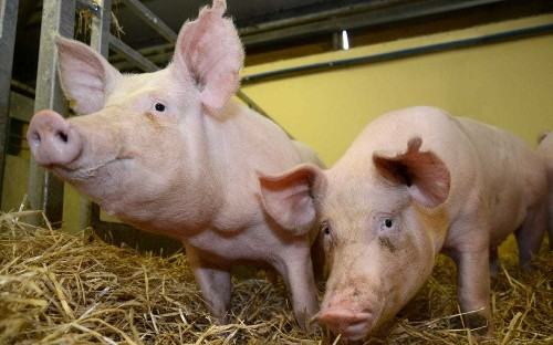 Pig hearts could soon be tested in humans after scientists pass important milestone