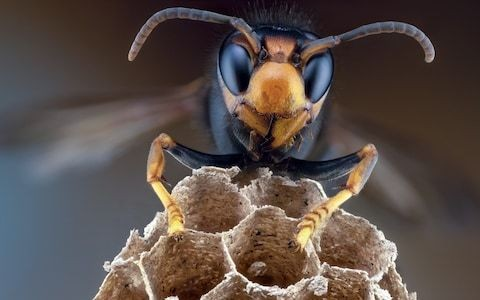 Asian hornets could hit English shores after number of Jersey nests rise by a third in one year