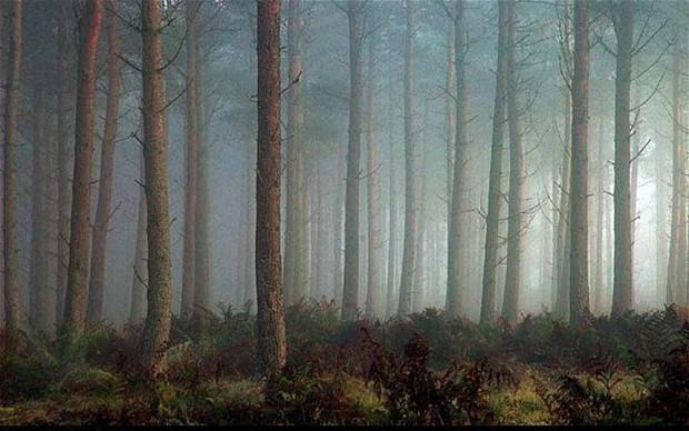 Do conifers make soil more acid?