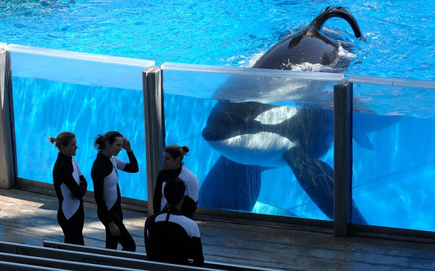 Activists angry after SeaWorld killer whale Tilikum who drowned US trainer believed to be close to death
