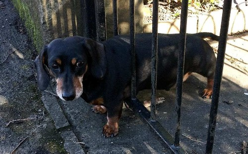 Plump sausage dog rescued by firefighters after becoming stuck in railings