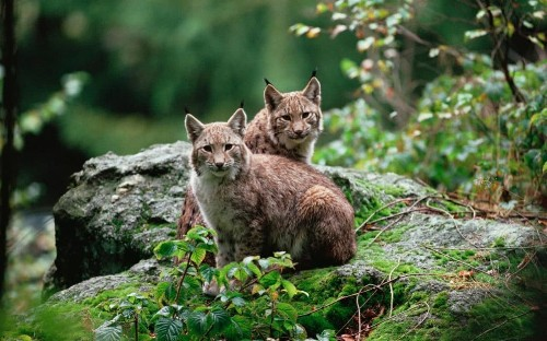 Will the lynx help the largest forest in England claw back some tourists?