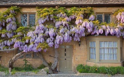 How to winter prune wisteria