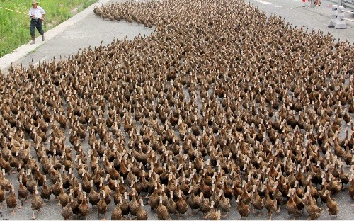 China sending 100,000-strong 'duck army' to Pakistan to fight locust plague