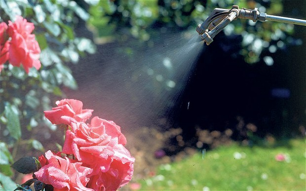 Thorny problems: how can I stop rose black spot?
