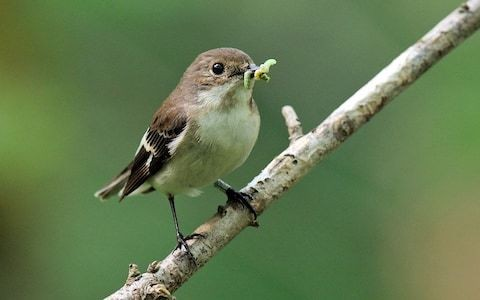 Warming climate leaves birds hatching too late for caterpillar harvest