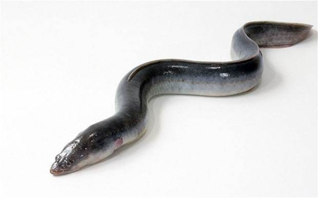 Swedish eel slithers its last after 155 years