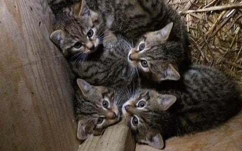 First wildcat kittens in new reintroduction project to be released in England for first time in 150 years
