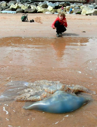 'Unprecedented' jellyfish invasion in UK waters in 2015